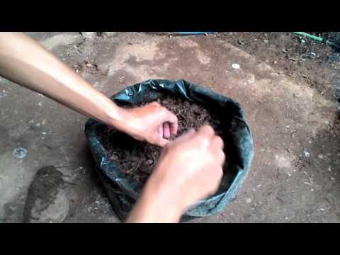 Video PANEN MAKSIMAL - tanam Jahe dengan sistem Vertikultur di polybag