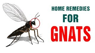 Best Ways to Instantly Get Rid of Gnats & Flies at Home