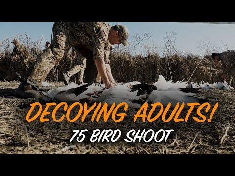 hunting-snow-geese--tactics-for-adult-birds