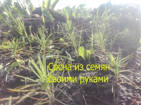 Сосна обыкновенная.От семени до посадки сеянца.Как вырастить много сосен самому.