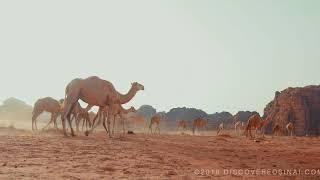 Sinai in Arabia Trip Teaser