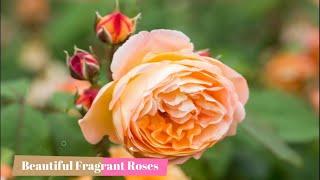 Fragrant Roses