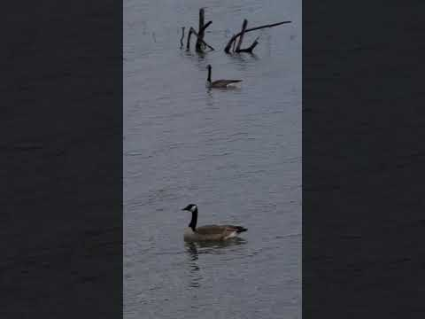 , title : '05-12-2021, Canadian Geese! #short