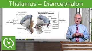 Thalamus – Diencephalon | Lecturio