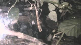 Stickbug molting