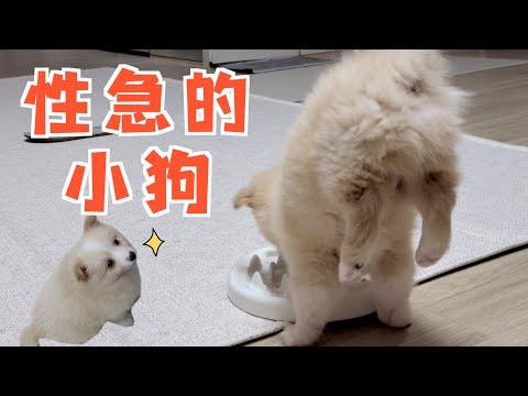 性 急 的 小 狗 !!!!! 吃饭还要倒立的吗...