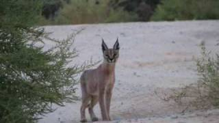 preview picture of video 'A rare sighting of Caracal in southern Israel'