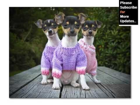 Collection Of Cute Pictures Of Dog Terrier Type | Rat Terrier Mp3