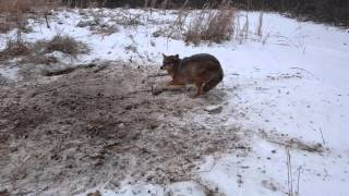 First Coyote 1-20-2016 Dispatch