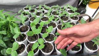 Tips on Starting Transplant Cucumbers, Squash & Zucchini in Cups -TRG 2015