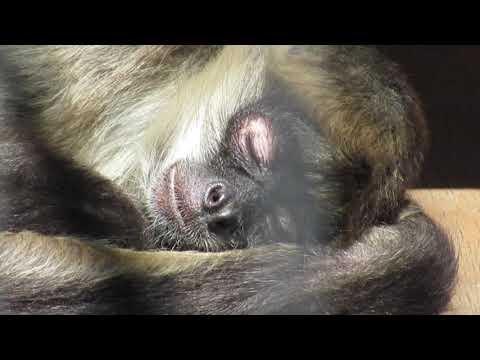閉園中の動物園 眠たい?(2020.04.24撮影)★到津の森公園