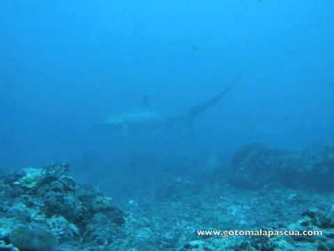 Malapascua - Fuchshaien, Malapascua,Philippinen