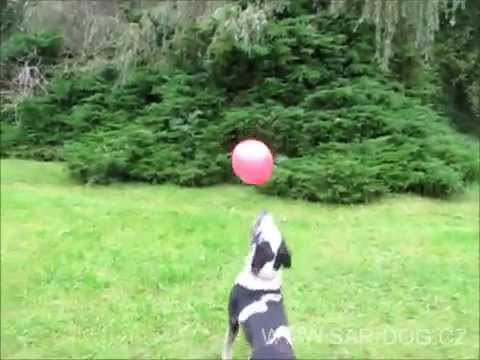 SAR-DOG.CZ: Catahoula Dog & Balls