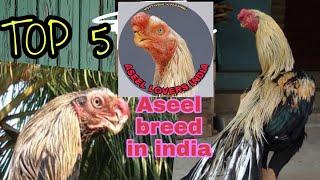 parrot nose aseel murga price - Free Online Videos Best