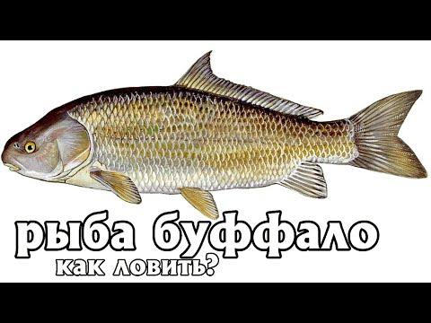 Как на что и где ловить рыбу буффало? Где обитает рыба буффало в России? Рыбалка буффало