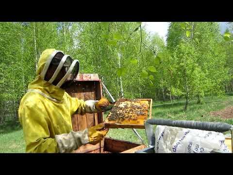 Пчеловодство. Как сеет яйцекладку молодая пчеломатка аборигенка в начале мая!