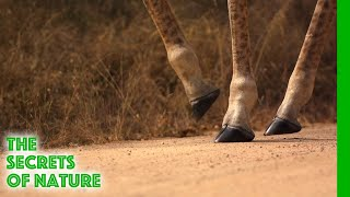 Giraffe - Africa's Wild Wonders - The Secrets of Nature