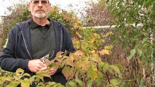 Обрезка ягодных кустарников осенью. Мастер - класс