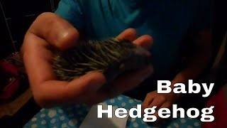 How to care for a baby hedgehog