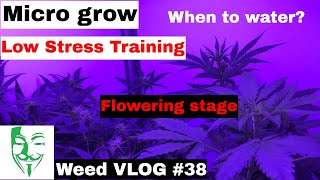 Micro grow: Low stress training, When to give water? HARVEST Weed VLOG #38