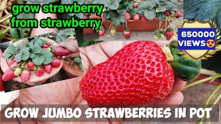 How To Grow HUGE STRAWBERRIES BY SEEDS : In Pot : In WINTER :With Updates (STEP BY STEP GUIDE)