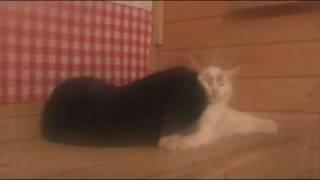 Финские кошки настолько суровы
