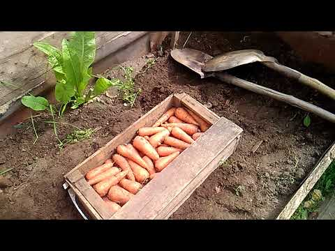 Как я храню морковь до зимы.