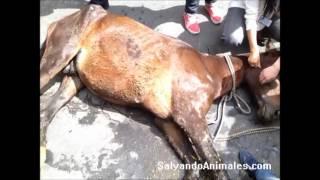 preview picture of video 'Caballo desplomado en Bogota, Calle 80 con Cr 14.'