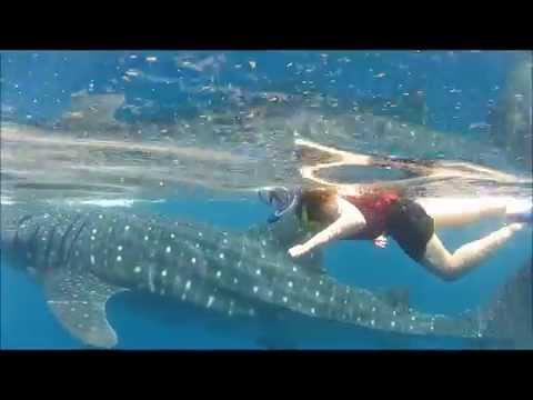 Swimming with Whale Sharks in Cancun