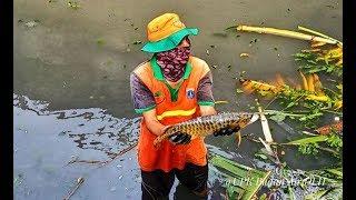 Kemunculan Ikan Arwana Berwarna Emas di Kali Utan Kayu