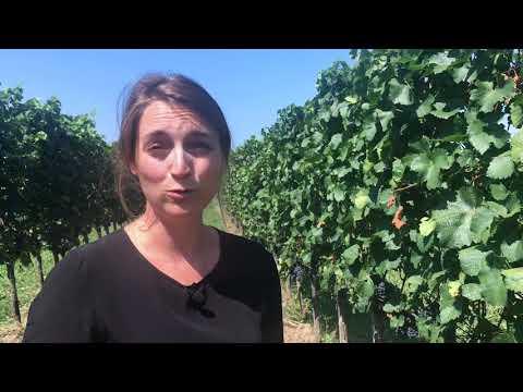Zweigelt wine guide: vineyard interview with Austrian winemaker Christina Netzl