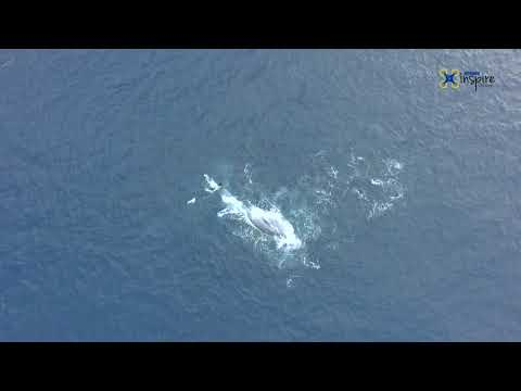 Bryde's whales Curacao (2017)
