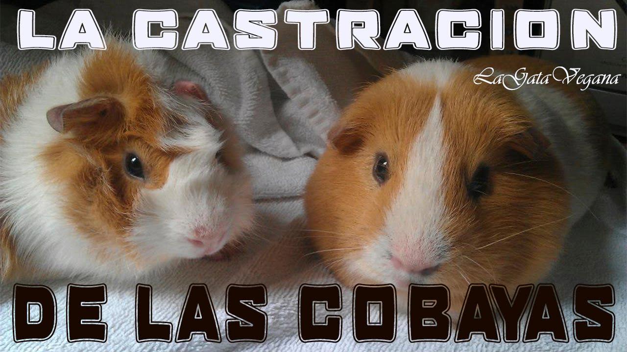 LA CASTRACIÓN EN LAS COBAYAS / MI EXPERIENCIA CON MIS COBAYAS KINTARO Y HIDEKI