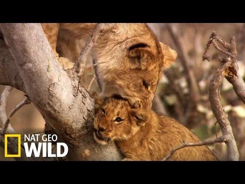 Ces lionceaux font la bagarre !