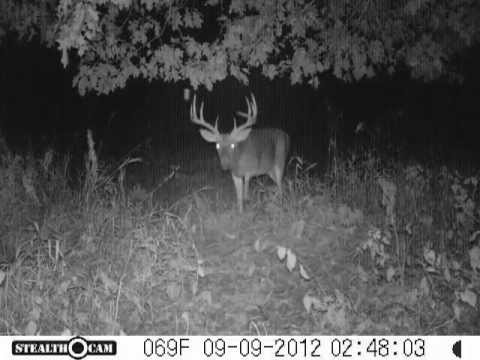 Giant Buck Exploring Scrape