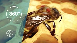 Varroa Mites: A Danger to Bees 360° Video