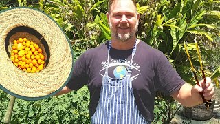 Cape Gooseberry Chicken Drumsticks GROW AND COOK Recipe