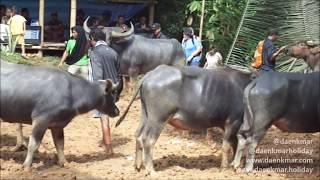 Upacara Potong Kerbau Dan Babi Di Tana Toraja Sulawesi Selatan