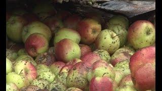 В Новгородской области задержана фура с польскими яблоками