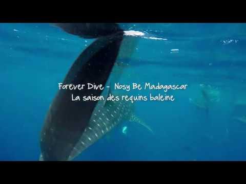La saison des requins baleine