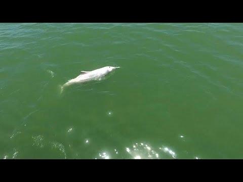 العرب اليوم - شاهد: الدلافين الوردية تصارع من أجل البقاء بسبب جسر الصين-هونغ كونغ