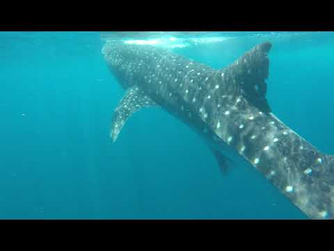 2 Whale Shark Holbox, Mexico 07_2018
