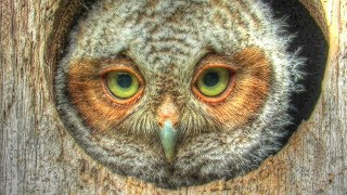 Baby Screech Owlet Leaves the Nest Box - Mini Documentary