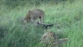 preview picture of video 'Kenya  - Lions Eating their Prey - Safari'