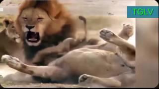 Sư tử chiến đấu bảo vệ gia đình