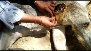 Treating cows in village Terha Bundelkhand part34