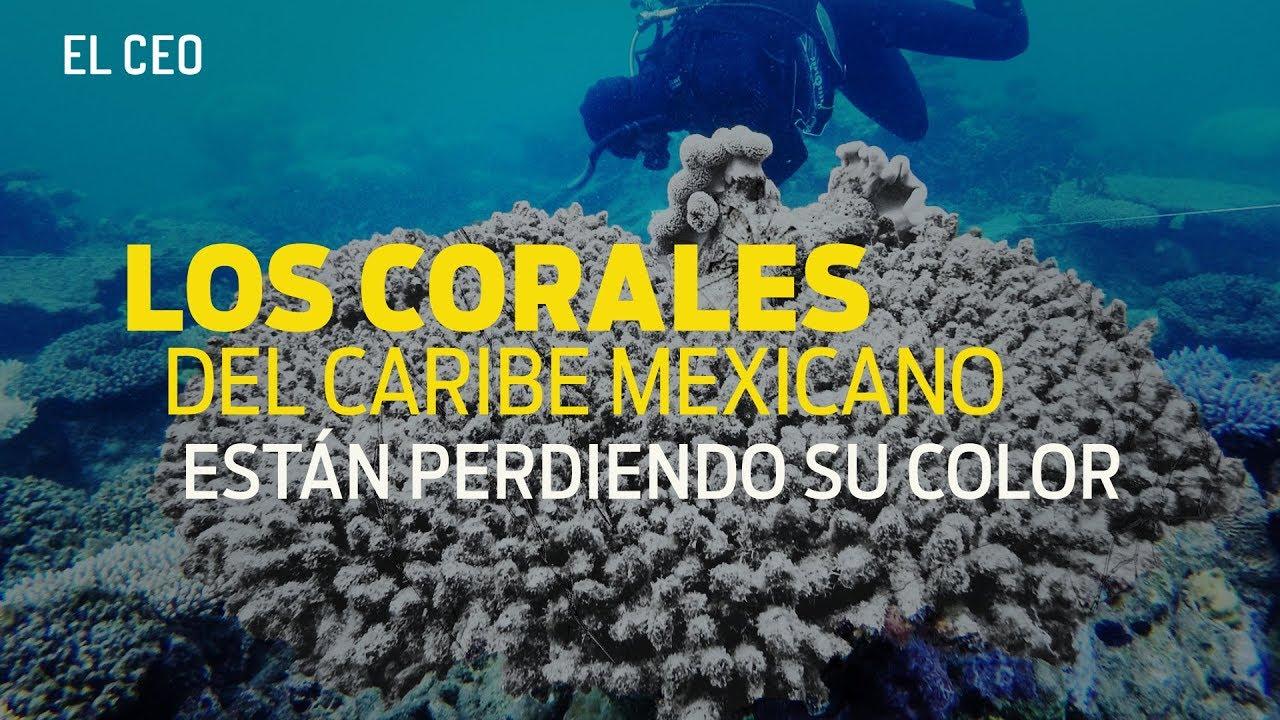 Los corales en México están perdiendo color