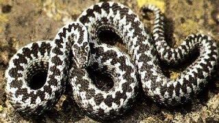 Смотреть онлайн Первая помощь при укусе змеи