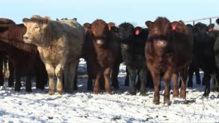 Beef School Ep 4  - Heifer Selection