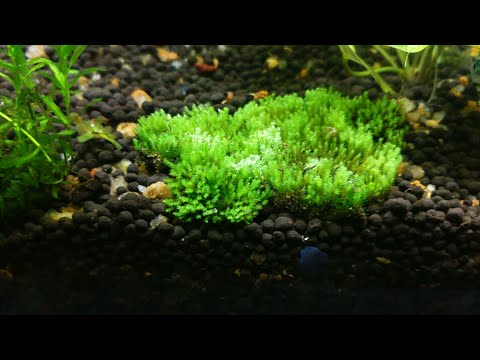How to plant land moss in an aquarium